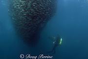 underwater cinematographer Peter Lamberti films a<br /> baitball of sardines, Sardinops sagax, Transkei, South Africa ( Indian Ocean )
