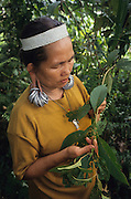 MEDICINAL HERBS AND PLANTS, MALAYSIA. Sarawak, Borneo, South East Asia. Tropical rainforest and one of the world's richest, oldest eco-systems, flora and fauna, under threat from development, logging and deforestation. Home to indigenous Dayak native tribal peoples, farming by slash and burn cultivation, fishing and hunting wild boar. Home to the Penan, traditional nomadic hunter-gatherers, of whom only one thousand survive, eating roots, and hunting wild animals with blowpipes. Animists, Christians, they still practice traditional medicine from herbs and plants. Native people have mounted protests and blockades against logging concessions, many have been arrested and imprisoned.