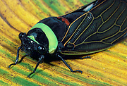 Cicada, Tacua speciosa, Borneo, close up of face, large eyes, green & black