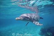 Honey, a wild sociable bottlenose dolphin, Tursiops truncatus, Lighthouse Reef Atoll, Belize ( Caribbean Sea )