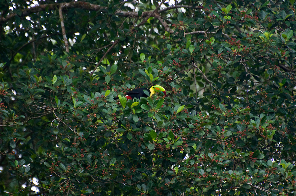 A keel-billed toucan (Ramphastos swansonii) in a fig tree in Tortuguero National Park, Costa Rica on April 8, 2009.  (Photo/Billy Byrne Drumm)