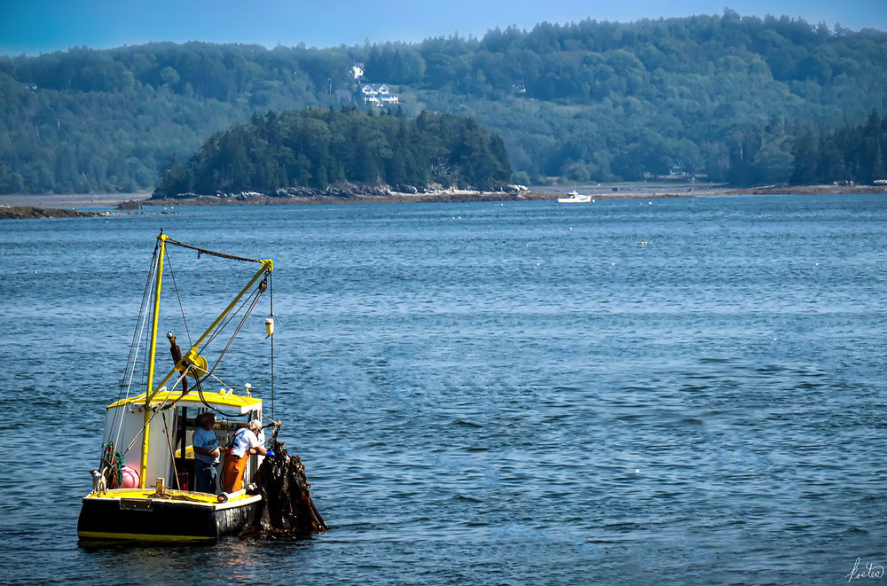 Harvesting Seaweed with the Dog off the coast of Castine, Maine.