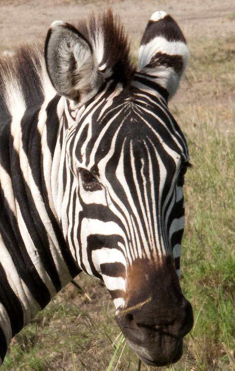 The Zebra - Punda Milia