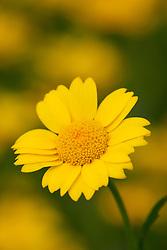 Corn Marigold. Chrysanthemum segetum