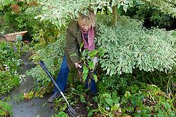 Carol Klein digging up pulmonarias ready to divide