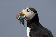 Profile (side) view of an Atlantic Puffin (Fratercula arctica) with a mouthful of sandeels in the Farne Islands. The Atlantic Puffin is a seabird in the auk family.