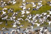 Western Sandpipers landing(Caldris mauri) Back Bay Reserve, California