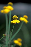 Yellow wildflowers along Taylor Creek near South Lake Tahoe, CA