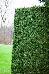 Cupressocyparis leylandii - Leylandii hedge