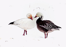 Snow Goose Snuggle and Love In A Cold Snow Storm