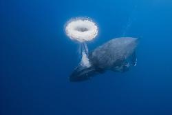 humpback whale, Megaptera novaeangliae, blowing a bubble ring, Kona Coast, Big Island, Hawaii, USA, Pacific Ocean