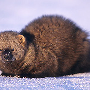 Fisher, (Martes pennanti) On snow, winter. Montana. Captive Animal.