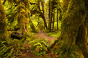 Photographer hikes through the Hoh Rainforest, Olympic National Park.