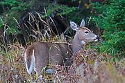 White-tailed deer (Odocoileus virginianus)<br />Whiteshell Provincial Park<br />Manitoba<br />Canada