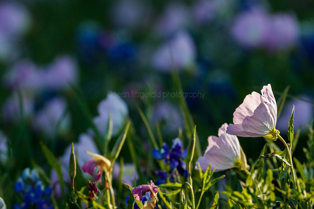 Bluebonnets and pink evening primrose, Botanical Research Institute of Texas, Fort Worth, Texas, USA. Tentative ID)