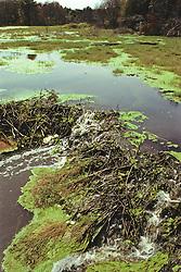 Beaver Dam Falling Apart & Algae