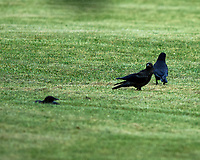 American Crow. Image taken with a Nikon D4 camera and 80-400 mm VRII lens.