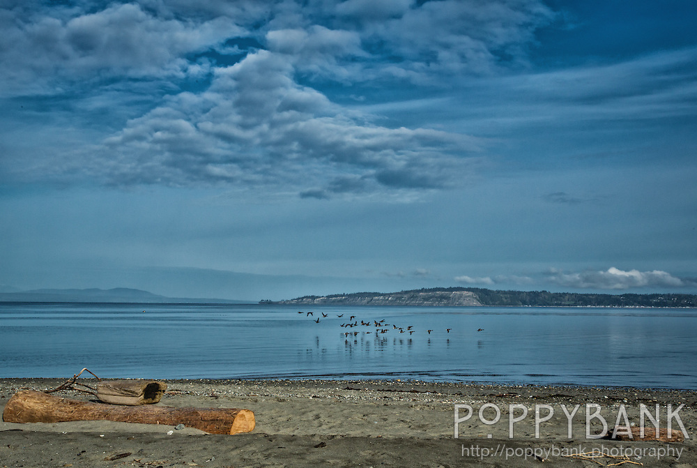 A flock of geese flying low across Puget Sound preparing to land in Useless Bay on Whidbey Island.