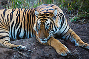 Wild Bengal tiger laying next to a pool on a dirt bank, Ranthambore National Park, Rajasthan, India