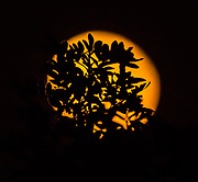 The moon shines through the tree leaves.