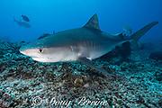 tiger shark, Galeocerdo cuvier, swims over coral rubble, Honokohau, Kona, Big Island, Hawaii, USA ( Central Pacific Ocean )