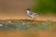 Female Sardinian Warbler, AKA Black Headed Warbler (Curruca melanocephala syn Sylvia melanocephala), is a common and widespread typical warbler from the Mediterranean region Photographed at the Ein Afek nature reserve, Israel in November