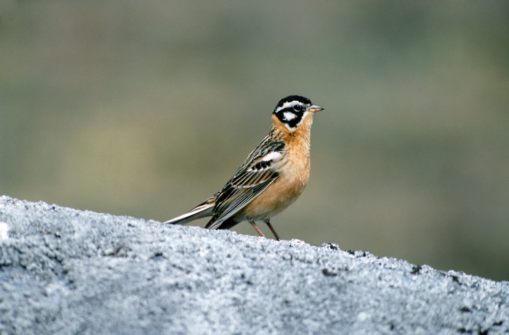 Smith's Longspur - Calcarius pictus