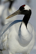 Red Crowned Crane, Grus japonensis, close up, portrait, Hokkaido Island, japanese, Asian, cranes, tancho, crested, white, black,  wilderness, wild, untamed, photography, ornithology, snow, graceful, majestic.