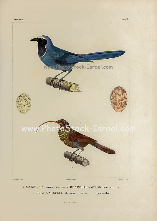 hand coloured sketch Top: white-collared jay (Cyanolyca viridicyanus [Here as Garrulus viridicyanus]) Bottom: red-billed scythebill (Campylorhamphus trochilirostris) [Here as dendrocolaptes procurvus]) From the book 'Voyage dans l'Amérique Méridionale' [Journey to South America: (Brazil, the eastern republic of Uruguay, the Argentine Republic, Patagonia, the republic of Chile, the republic of Bolivia, the republic of Peru), executed during the years 1826 - 1833] 4th volume Part 3 By: Orbigny, Alcide Dessalines d', d'Orbigny, 1802-1857; Montagne, Jean François Camille, 1784-1866; Martius, Karl Friedrich Philipp von, 1794-1868 Published Paris :Chez Pitois-Levrault et c.e ... ;1835-1847