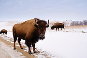 19 FEBRUARY 2021 - PRAIRIE CITY, IOWA: An American Bison (buffalo) along the side of  road in the Neal Smith National Wildlife Refuge near Prairie City, about 45 minutes from downtown Des Moines. The Wildlife Refuge has the largest herd of wild bison in Iowa and the only herd of wild elk in Iowa. Both animals were once native to Iowa and common in the state, but were hunted to extinction in 19th century. Controlled herds were reintroduced in the mid 20th century. Both the bison and elk herds are carefully managed to maintain genetic diversity.    PHOTO BY JACK KURTZ