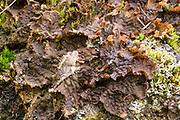 Frog Pelt Lichen