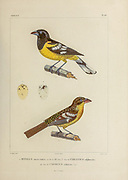hand coloured sketch black-backed grosbeak (Pheucticus aureoventris [Here as Pitylus aureoventris]) Top: Male. Bottom: female. From the book 'Voyage dans l'Amérique Méridionale' [Journey to South America: (Brazil, the eastern republic of Uruguay, the Argentine Republic, Patagonia, the republic of Chile, the republic of Bolivia, the republic of Peru), executed during the years 1826 - 1833] 4th volume Part 3 By: Orbigny, Alcide Dessalines d', d'Orbigny, 1802-1857; Montagne, Jean François Camille, 1784-1866; Martius, Karl Friedrich Philipp von, 1794-1868 Published Paris :Chez Pitois-Levrault et c.e ... ;1835-1847