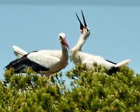 White Stork (Ciconia ciconia). Parque Nacional de Donana. Image taken with a Nikon N1V2 camera, FT1 adapter,  and 80-400 mm VR lens.