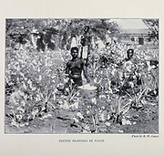 A Cotton Plantation In Natal From the Book '  Britain across the seas : Africa : a history and description of the British Empire in Africa ' by Johnston, Harry Hamilton, Sir, 1858-1927 Published in 1910 in London by National Society's Depository