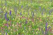 Artenreiche Wiese mit Wiesen-Salbei (Salvia pratensis), Saat-Esparsette (Onobrychis viciifolio) und Klappertopf (Rhinantus) oberhalb Tiefencastel an einem bedeckten Frühlingstag im Juni, Graubünden, Schweiz<br /> <br /> Species-rich meadow above Teifencastel on a overcasted spring day in June, Grisons, Switzerland