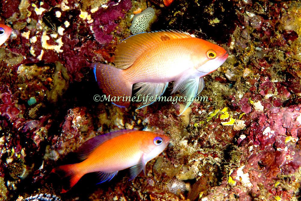 Stocky Anthias inhabit reefs. Picture taken Raja Ampat, Indonesia.