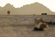 Brown hyena (Parahyaena brunnea oder Hyaena brunnea), The Tsau-ǁKhaeb-(Sperrgebiet)-Nationalpark, Namibia | Schabrackenhyäne (Parahyaena brunnea oder Hyaena brunnea), Sperrgebiet National Park, Namibia