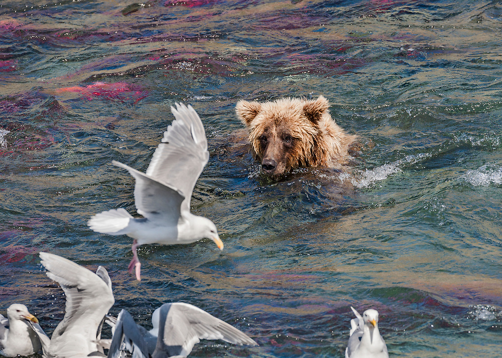 Alaska.  An adult Brown Bear (Ursus arctos) swimming with only its head above water in Funnel Creek, Katmai National Preserve, in the middle of a large school of Sockeye Salmon (Oncorhynchus nerka) while a flock of Glaucous-winged Gulls (Larus glaucesens) squabble for bits of fish near shore in the foreground.