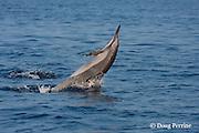 Hawaiian or Gray's spinner dolphin, Stenella longirostris longirostris, leaping or breaching, Kona Coast, Hawaii Island ( the Big Island ) Central Pacific Ocean