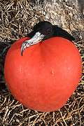 Great Frigatebird (Fregata minor) male with inflated pouch, Hood Island, Galapagos Islands, Ecuador