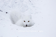01863-01707 Arctic Fox (Alopex lagopus) at food cache, Cape Churchill, Wapusk National Park, Churchill, MB Canada