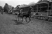 """08/05/1964<br /> 05/08/1964<br /> 08 May 1964<br /> R.D.S. Spring Show Ballsbridge Dublin, Winner of Single Harness Championship Cup, Mr. R.J. McFarland of Claddagh, Pond Park Road, Lisburn, Co. Antrim with his black stallion """"Hurstwood Ebony"""" after his win at the Dublin Spring Show."""