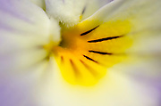 Close-up abstract of the centre of a pale mauve pansy growing in a Surrey garden in summer