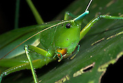 Conehead Katydid, Copiphora sp., Manu, Peru, jungle, on leaf, portrait, green. .South America....