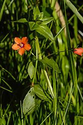 Rood Guichelheil, Anagallis arvensis subsp. arvensis