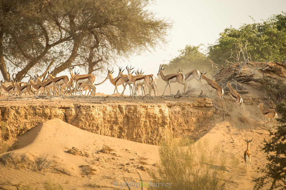 Herd of Springbok, Skeleton Coast, Northern Namibia, Southern Africa