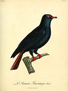 Ramier founingo Male from the Book Histoire naturelle des oiseaux d'Afrique [Natural History of birds of Africa] Volume 6, by Le Vaillant, Francois, 1753-1824; Publish in Paris by Chez J.J. Fuchs, libraire 1808