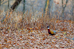 Ring-necked Pheasant in the underbrush of the woodlands in Moraine View State Park near Ellsworth Illinois.<br />