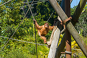Sumatran Orangutan, Pongo abelii, eating carrot at Jersey Zoo - Durrell Wildlife Conservation Trust, Channel Isles