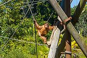 Sumatran Orangutan, Pongo abelii, eating carrot at Jersey Zoo - Durrell Wildlife Conservation Trust, Channel Isles